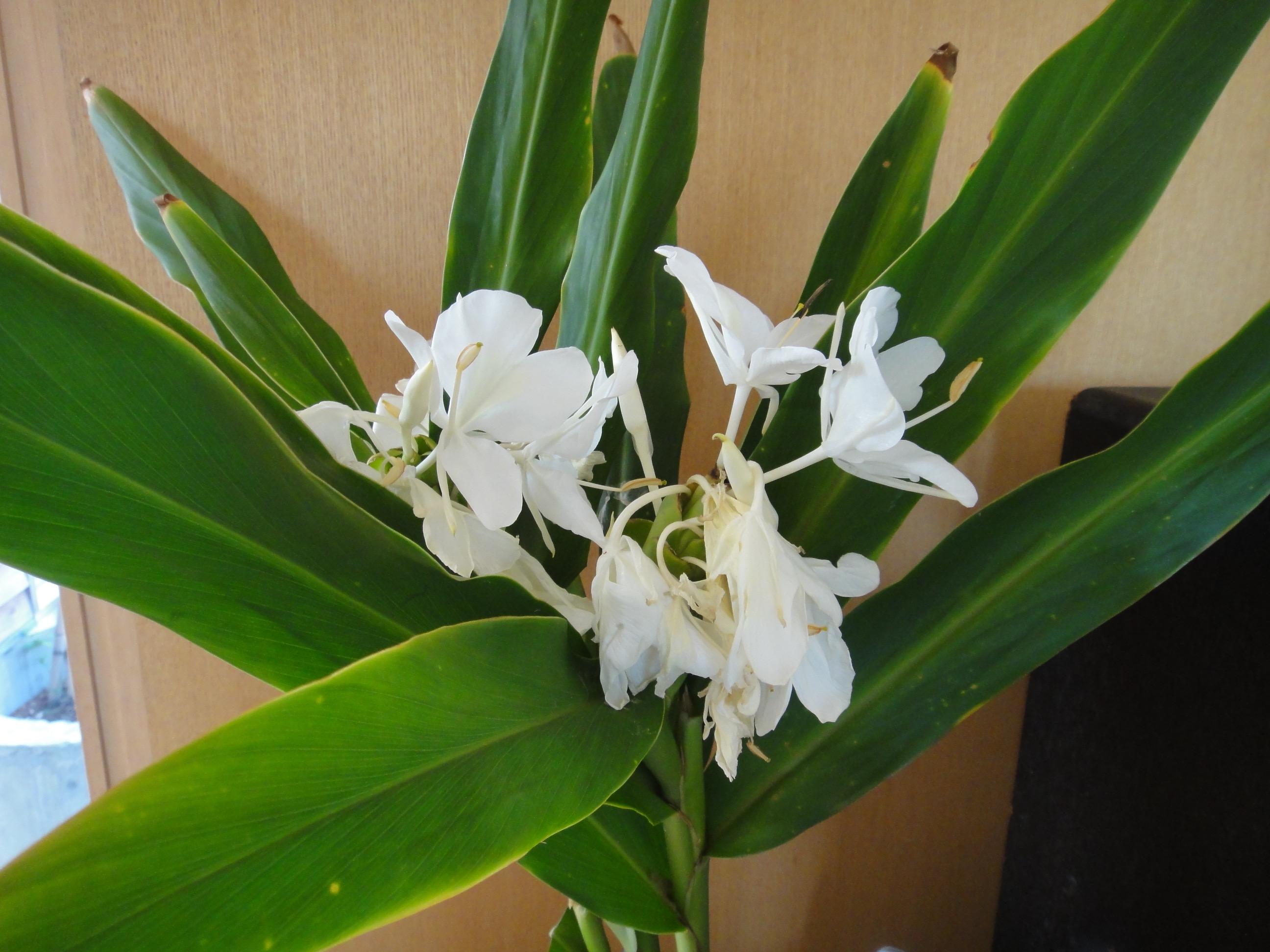 ginger flower blog